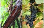 Щитовка на винограде как бороться