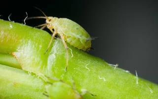 Как бороться с зеленой тлей