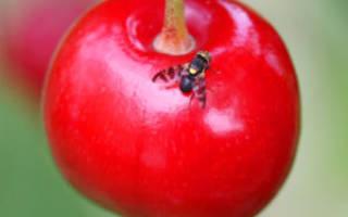 Вишневая муха меры борьбы