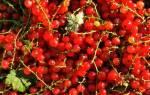 Как сохранить красную смородину