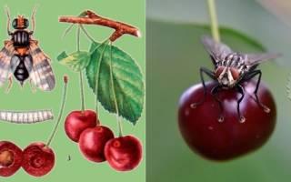 Как избавиться от червей в черешне