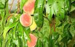 Вредители персика и борьба с ними