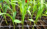 Когда сеять кукурузу на рассаду