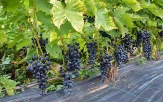 Виноград в ленинградской области посадка и уход