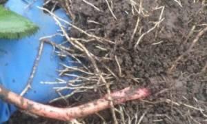 Посадка ежевики осенью саженцами