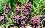 Как посадить виноград весной в подмосковье