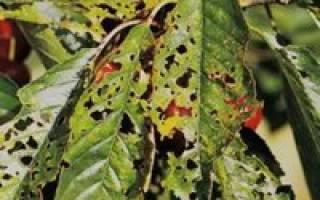 Обработка черешни весной от вредителей