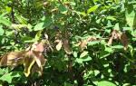 Уход за жимолостью после плодоношения