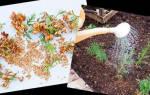 Выращивание туи в домашних условиях из семян