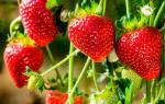 Ампельная клубника уход и выращивание