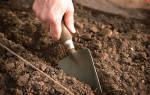 Посадка кабачков в открытый грунт рассадой
