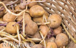 Как правильно посадить картофель чтобы получить хороший урожай