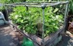 Как посадить кустовую фасоль