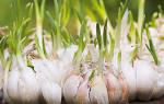 Как быстро посадить чеснок