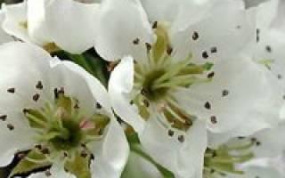 Груша весной уход