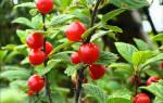 Болезни вишни войлочной