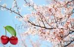 Чем удобрять весной вишню