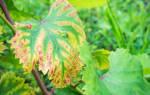 Красные пятна на листьях винограда
