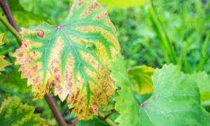 Светлые пятна на листьях винограда