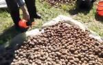 Обработка семян картофеля перед посадкой