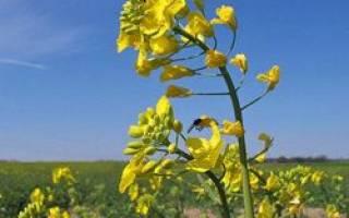 Сурепка это сорняк или лекарственное растение