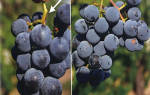 Черная пятнистость на винограде