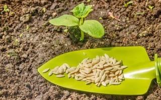 Сколько всходят семена кабачков
