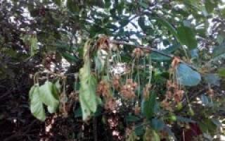Сохнет вишня после цветения что делать