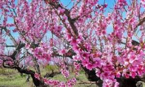 Уход за персиком весной