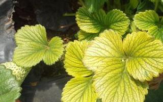 Желтеют листья у клубники что делать