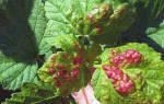 Красные листья на смородине как бороться