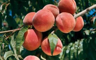 У персика скручиваются листья что делать