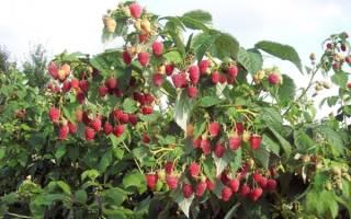 Малина таруса выращивание и уход