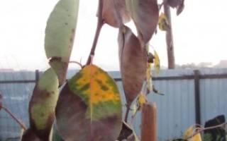 Бактериальный ожог плодовых деревьев меры борьбы