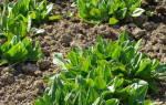 Как сажать щавель семенами в открытом грунте
