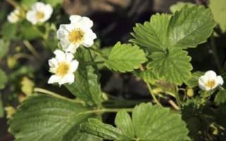 Борьба с вредителями клубники весной