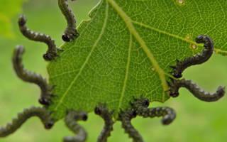 Гусеницы на крыжовнике объели листья как бороться